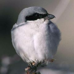 Snow Shrike