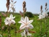 Field of Asphodel