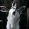 Nymeria&#39;s pup&#39;s Photo