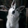 Nymeriawolf