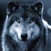 gvewolf243