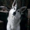 Nymeria's pup
